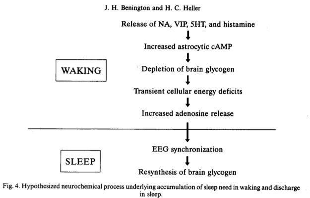 Flowchart of the relation of glycogen to sleep need and replenishment